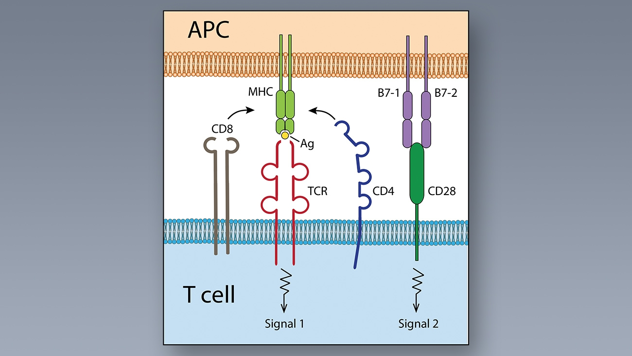 White Paper Discusses Immune Checkpoints Major Role in Immune System Functionality