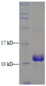 Western blot analysis of recombinant human procalcitonin (CRH350). Produced in E. coli, CRH350 is His-tagged to facilitate detection. It has been validated for Western blot, ELISA, and for use as an immunogen.